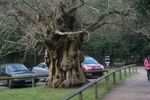 003 Sweet chestnut by car park and footpath