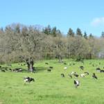 Dairy herd around veteran oaks in Maesllwch