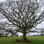 Ethy Oak in the park  by Brian Muelaner
