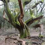 Holt Forest 02 Hallowing around oak by Brian Muelaner