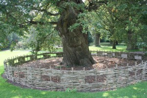 Richmond Park fencing round tree by HS