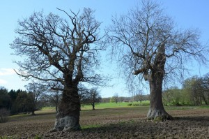 Two veteran oaks being destroyed by farming activities by Brian Muelaner