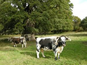 005 Longhorn cattle grazing wood pasture, 08