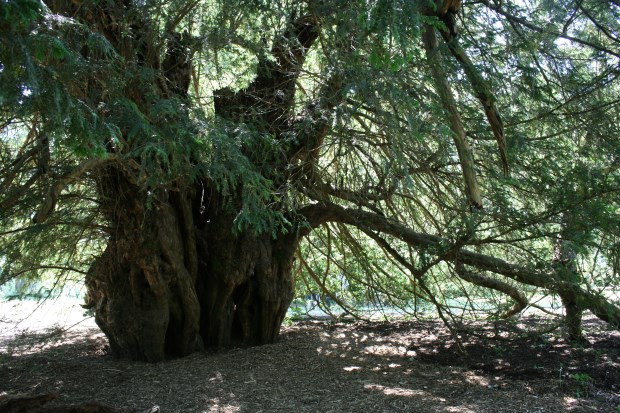 Ankerwycke yew 2 by Hannah Solloway for web