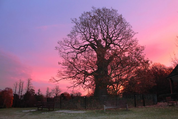 Bandstand oak, Hampstead Heath