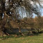 Chirk Oak and deadwood by Brian Muelaner