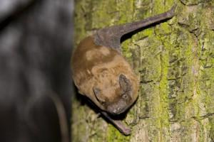 Common noctule bat