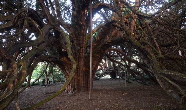 Great yew of Ormiston by Chris Knapman cropped