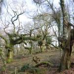 Horner Wood wood pasture oak pollards