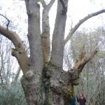 Leigh Woods Oak pollard