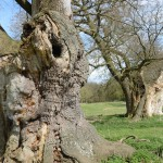 Melford Ancient oak pollards by Brian Muelaner