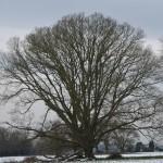 Tyntesfield stunning shaped oak with limb loss