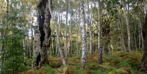 Veteran oaks in lapsed wood pasture by Brian Muelaner