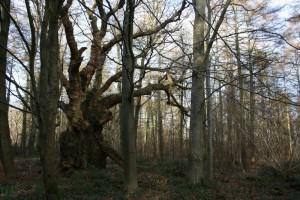 ancient tree at Sherborne by Hannah Solloway