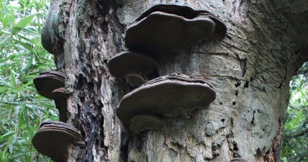 beech with ganoderma brackets at Minterne by HS cropped