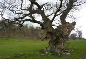 Parkhouse Oak (1) by Ian Jack cropped for web