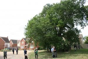 development-around-ancient-oak