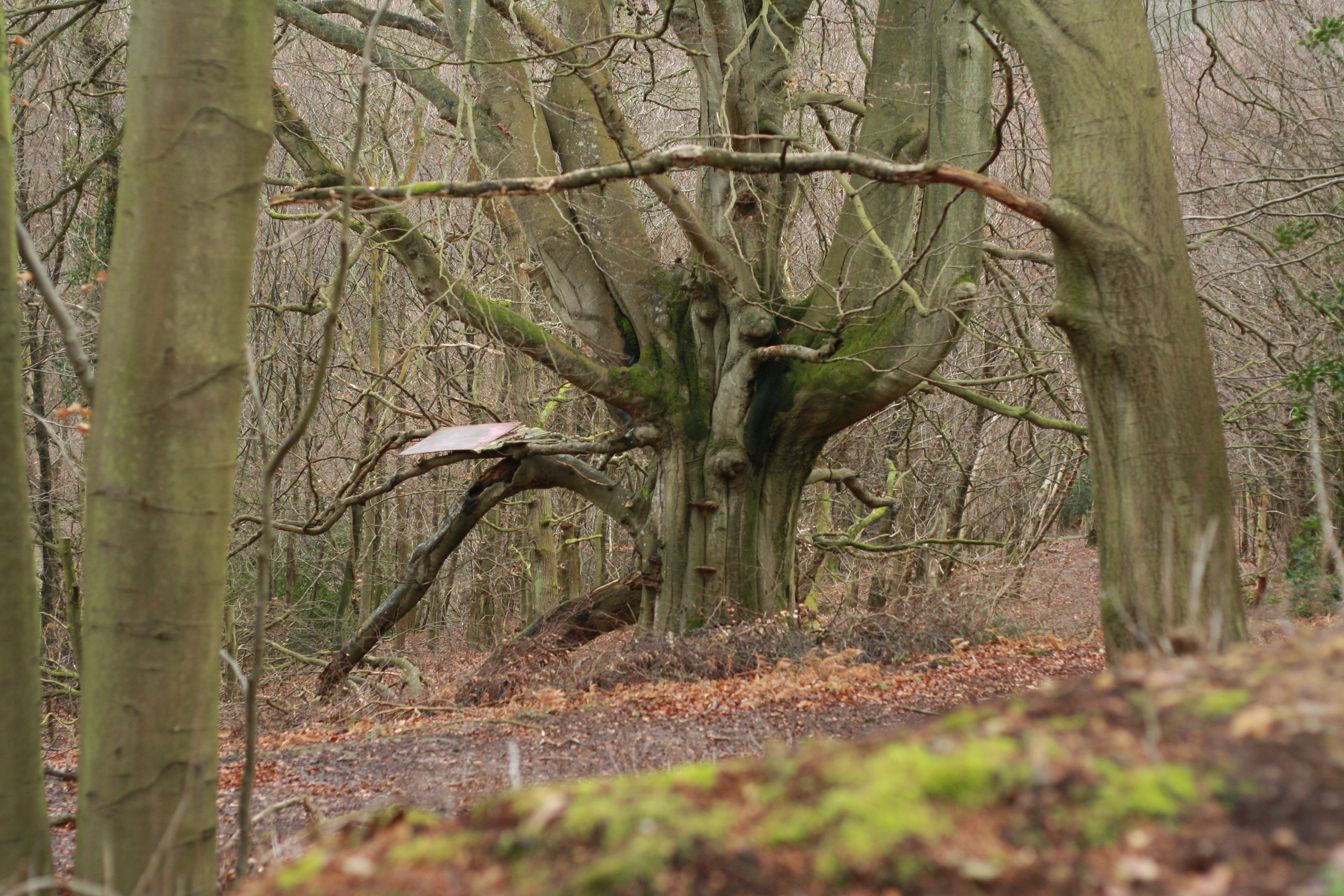 big-beech-tree-at-dallington-by-luke-barley-cropped-for-website