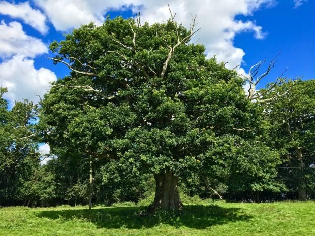 oak-at-knepp-by-reg-harris-for-website
