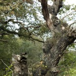 old-oak-at-belvoir-park-forest-by-edward-parker-for-website