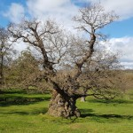 Ripley Castle oak by park stream for website