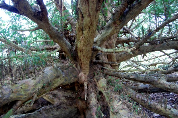 Bulbarrow yew trunk by Peter Norton cropped for website