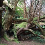 Craigends Yew trunks by Judy Dowling cropped for website