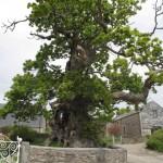 Darley Oak as you enter the old farmyard by Tim Kellett cropped for website