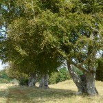 Kings barrow beeches Stonehenge by Brian Muelaner cropped for website